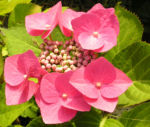 Hortensie Bluete rot Hydrangea hortensia 21