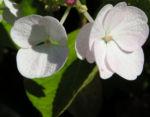 Hortensie Bluete weiss Hydrangea hortensia 05