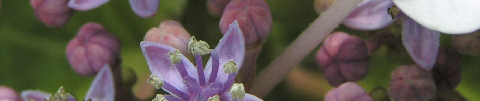 hortensie-bluete-weiss-hydrangea-hortensia