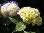 Hortensie Strauch Bluete blasslila Hydrangea macrophylla 03