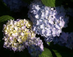 Hortensie Strauch Bluete blasslila Hydrangea macrophylla 10