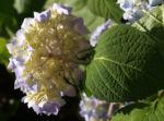 Hortensie Strauch Bluete blasslila Hydrangea macrophylla 11