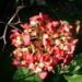 Zurück zum kompletten Bilderset Hortensie Strauch Blüte rot Hydrangea macrophylla