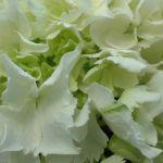 Hortensie weiss Hydrangea arborescens 02