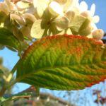 Hortensie weisse Bluete Hydrangea macrophylla 05
