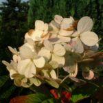 Hortensie weisse Bluete Hydrangea macrophylla 06