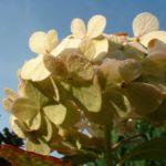 Hortensie weisse Bluete Hydrangea macrophylla 07