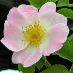 Hunds Rose Bluete zartrosa Rosa canina 01