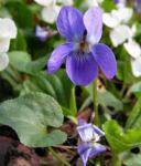 Hunds Veilchen Bluete blau Viola canina 01