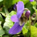 Hunds Veilchen Bluete blau Viola canina 03