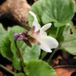Hunds Veilchen Bluete weiss Viola canina 04