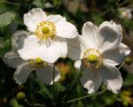 Hupeh Anemone Bluete hellrosa Anemone hupehensis 03