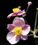 Hupeh Anemone Bluete hellrosa Anemone hupehensis 06