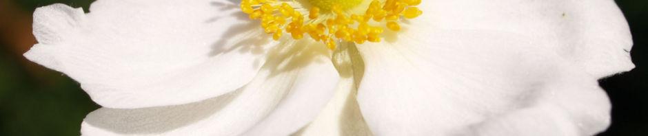hupeh-anemone-bluete-hellrosa-anemone-hupehensis