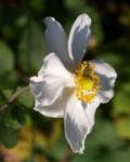 Hupeh Anemone Bluete hellrosa Anemone hupehensis 14