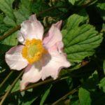 Hupeh Windroeschen Anemone hupehensis 02