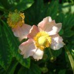 Hupeh Windroeschen Anemone hupehensis 04
