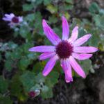 Igelhuellkelch Bluete pink Pericallis echinata 03
