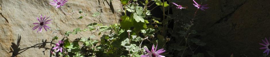 igelhuellkelch-cinerarie-bluete-pink-pericallis-echinata