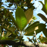 Immergruene Magnolie Blatt gruen Magnolia grandiflora 02