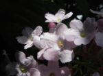 Immergruene Magnolie Bluete weiss Magnolia grandifloria 03