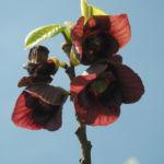 Indianerbanane Bluete dunkelrot Asimina triloba 02