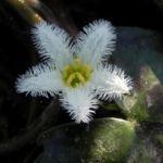 Indische Seekanne Bluete weiß Nymphoides indica 05