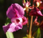 Bild:  Drüsiges Springkraut Blüte rosa Impatiens glandulifera