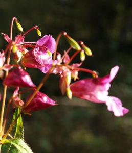 Indisches Springkraut Bluete rosa Impatiens glandulifera 06
