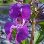 Bild:  Indisches Springkraut Blüte rosa Impatiens glandulifera