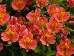 Inkalilie Peruanische Lilie Bluete rot orange Alstroemeria aurantiaca 06