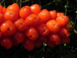 Italienischer Aronstab Frucht rot Arum italicum 10