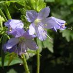 Jacobsleiter Himmelsleiter Bluete hellblau Polemonium caeruleum 03