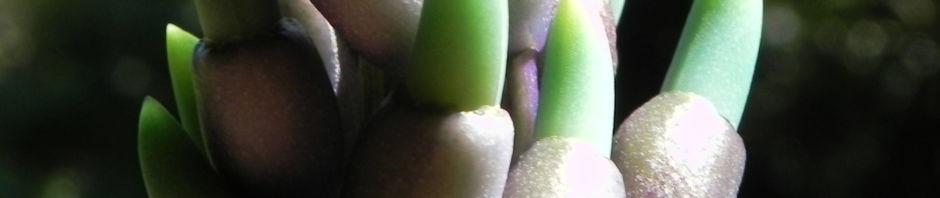 jadewein-jade-vine-bluete-tuerkis-strongylodon-macrobotrys