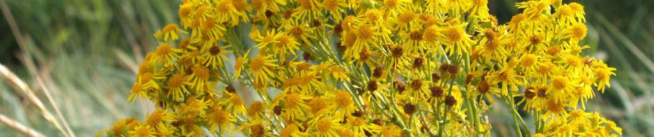 jakobs-greiskraut-bluete-gelb-senecio-jacobaea