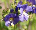 Jakobsleiter Himmelsleiter Sperrkraut Bluete blau Polemonium caeruleum 03