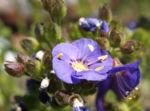 Jakobsleiter Himmelsleiter Sperrkraut Bluete blau Polemonium caeruleum 08
