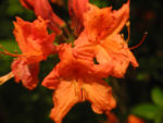 Japan Azalee Bluete orange Rhododendron mollis 02