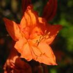 Japan Azalee Bluete orange Rhododendron mollis 03