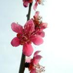 Japanische Aprikose Bluete pink Prunus mume 06