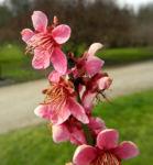 Japanische Aprikose Bluete pink Prunus mume 07