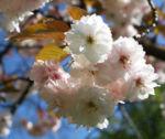 Japanische Bluetenkirsche Baum Bluete hellrosa Prunus serrulata 03