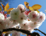 Japanische Bluetenkirsche Baum Bluete hellrosa Prunus serrulata 09