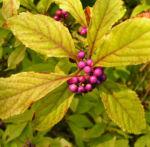 Japanische Callicarpa Schoenfrucht Frucht pink Callicarpa japonica 02