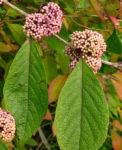 Japanische Callicarpa Schoenfrucht Frucht pink Callicarpa japonica 03