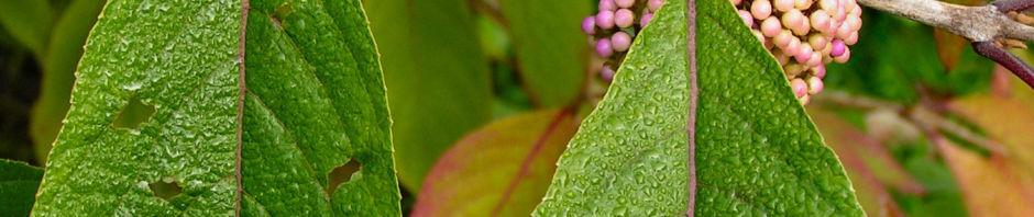 japanische-callicarpa-schoenfrucht-frucht-pink-callicarpa-japonica
