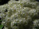 Japanische Eberesche Bluete weiss Sorbus commixta 04