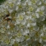 Japanische Eberesche Bluete weiss Sorbus commixta 05