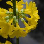 Japanische Etagen Primel Bluete gelb Primula japonica 07