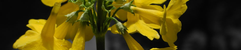 japanische-etagen-primel-bluete-gelb-primula-japonica